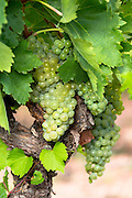 Green grapes on a vine along Ruta del Vino wine route in the Rioja region of Spain