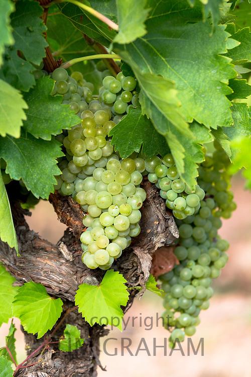 Green grapes on a vine along Ruta del Vino wine route in the Rioja region of Spain