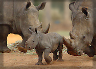 Southern White Rhinoceros family