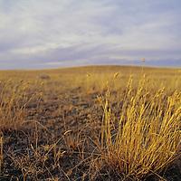 Wild grasses grow in range lands in the Missouri Breaks.