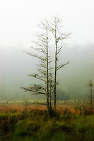 Foggy morning in Corkscrew Swamp in Naples, Florida. The stillness of this prairie in the middle of such a huge old cypress swamp was absolutely enchanting!