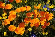 Californian poppy, Eschscholzia californica, Orange poppy flowers in sunlight in meadow from above. UK.