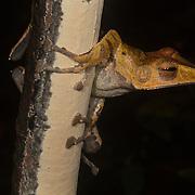 Borneo - Gunung Mulu NP - Frogs