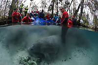 Florida manatee, Trichechus manatus latirostris, a subspecies of the West Indian manatee, endangered. February 13, 2012 there are releases of three rehabilitated manatees back into the wild. This is Krystal, the third of the releases. Krystal the manatee is timid at first but starts to swim away with tracking buoy attached. Personnel from United States Fish and Wildlife Services and four other parties conduct the successful release.  Horizontal orientation split image. Three Sisters Springs, Crystal River National Wildlife Refuge, Kings Bay, Crystal River, Citrus County, Florida USA.