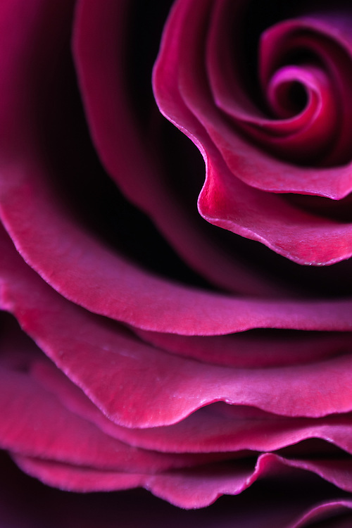 Macro floral image of a pink rose.