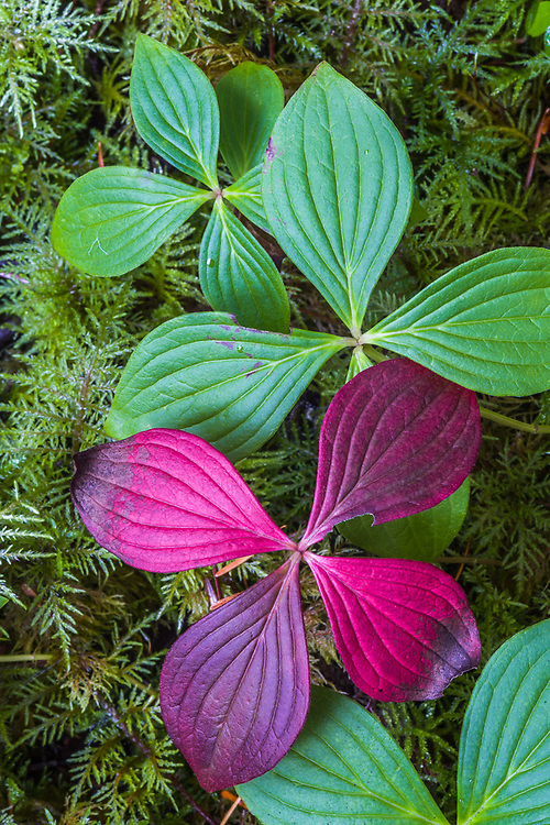 Bunchberry leaves and moss, forest floor, October, Olympic National Park, WA, USA