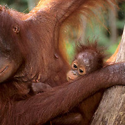 Orang-utan or Orangutan, (Pongo pygmaeus) Portrait of mother and baby in rain forest, Northern Borneo.Malaysia. Controlled Conditons.