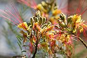 Flowering Caesalpinia gilliesii bush in yellow and red (AKA bird of paradise bush, desert bird of paradise, yellow bird of paradise, and barba de chivo).