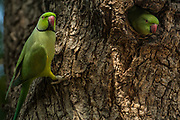 Rose-ringed parakeet (Psittacula krameri)<br /> Ranthambhore National Park. Rajasthan. INDIA<br /> RANGE & HABITAT: Forests, wooded areas and culivated fields of almost the entire Indian sub-continent from the Himalayan foothills south. Plains and locally up to 2000m in the peninsular hills. Bangladesh, Pakistan, Sri Lanka and Myanmar.<br /> These are one of the most familiar Indian birds as they are as at home in the countryside as in villagess and towns. They are often found in large flocks and can be highly destructive to crops and orchards.  They nest in natural hollows in tree trunks, or one evacuated by other birds as well as rock scraps and wllls of buildings - ruined or occupied. Both sexes take care of the young.