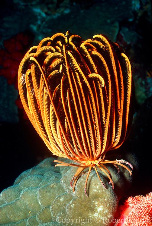 UNDERWATER MARINE LIFE WEST PACIFIC, generic sea lilies feather stars Crinoidea