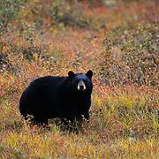 Black Bear (Ursus americanus) adult on tundra in Denali National Park,  Alaska.