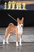 Young Female Basenji, pedigree sighthound dog Photographed at a dog show