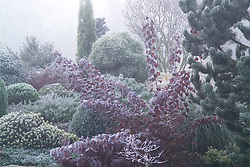Cotinus coggygria 'Atropurpurea' and conifers with hoar frost and fog