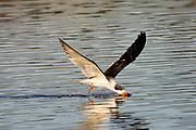 "Black Skimmer ""skimming"" (Rynchops niger) Back Bay Reserve, California"