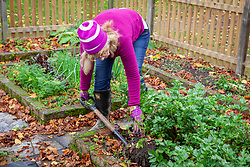 Harvesting the last crop of celery before the first winter frosts