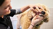 SCHIJNDEL Bij Dierenartspraktijk Schijndel kunnen baasjes hun hond kat, cavia of konijn gratis laten checken.<br /> <br /> Labradoedel Max voor controle bij dierenarts Sanne Roozen