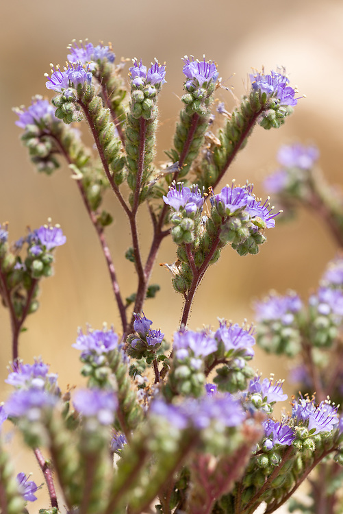 Scorpionweed, also known as heliotrope and pacelia, blooming in the desert of Southern Utah.