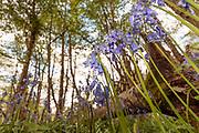 Bluebells (Hyacinthoides non-scripta) in woodland. Surrey, UK.