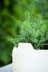 Pea tips 'Greensage' grown in old polystyrene fish box