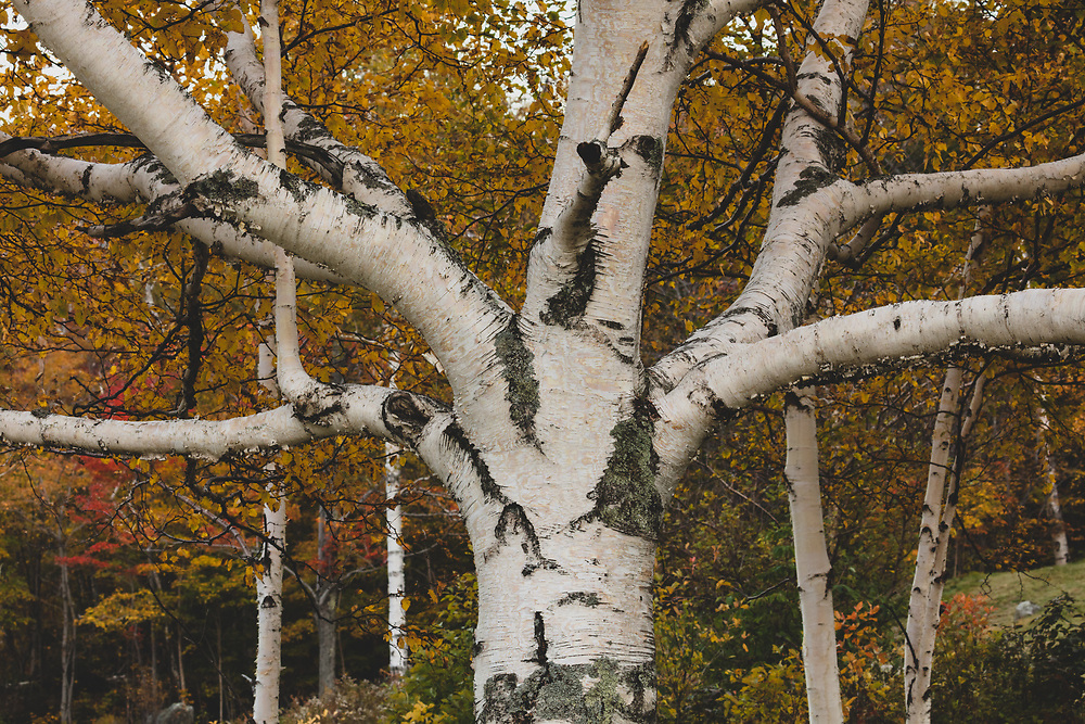 A big old birch tree nestled in the foothills of New Hampshire's White Mountains.