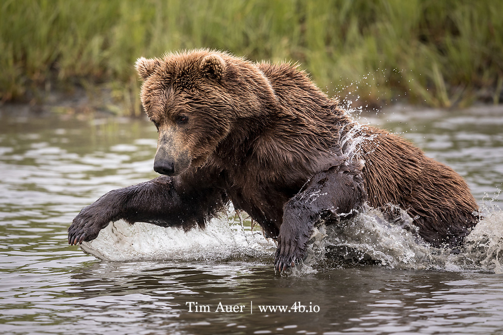 The livestock brought by white mean proved a temporary boon to the bear population, and campaigns to exterminate the grizzlies sealed its eventual fate in 1924 of extinction in California when the  last grizzly was killed in the Sierra Nevada mountains.