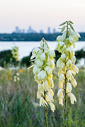 Arkansas yucca (Yucca arkansana) and  other wildflowers in Blackland Prairie remnant overlooking White Rock Lake at dusk, Dallas,Texas, USA