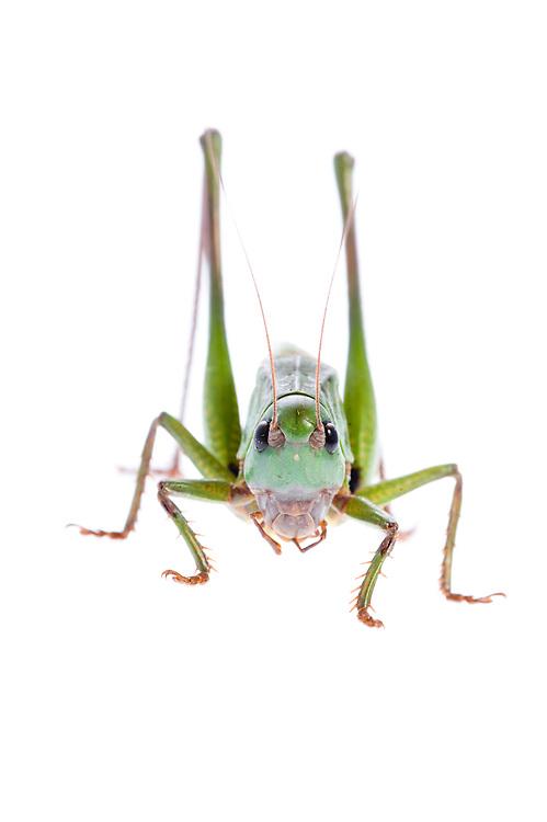 IFTE-NB-007685; Niall Benvie; Decticus verrucivorus; grasshopper; Europe; Austria; Tirol; Fliesser Sonnenhänge; invertebrate insect arthropod; vertical; high key; green white; controlled; adult; one; upland grassland meadow; 2008; July; summer; backlight strobe; Wild Wonders of Europe Naturpark Kaunergrat