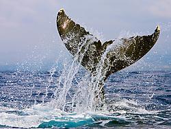 Humpback Whale lobtailing or tail-slapping, Megaptera novaeangliae, Hawaii, Pacific Ocean
