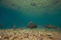 Grayling (Thymallus thymallus) <br /> Males on spawning ground, Lake of Thoune, Thoune, Switzerland<br /> Äsche (Thymallus thymallus)<br /> Männchen auf Laichgrund, Thunersee, Thun, Schweiz<br /> Ombre (Thymallus thymallus)<br /> Mâles sur la frayère, Lac de Thoune, Thoune, Suisse<br /> 17-03-2009