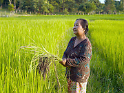 Portrait of farmer Bounthit Inthavong (59) in her rice field in Tao Than village, Vientiane Lao PDR. Bounthit and her husband Somvang (60) produce organic brown sticky rice, various kinds of bamboo, and fruit and vegetables including green beans, morning glory, lemons and mangos. This area has been hard hit by climate change over recent years and the farming-dependent family is feeling the effects.