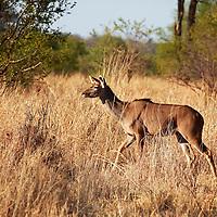 Africa, Zimbabwe, Victoria Falls. Female Greater Kudu (Tragelaphus strepsiceros).