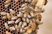 """23 APRIL 2007 -- FT. MCDOWELL, AZ: Bees from Dennis Arp's hives on the combs in the hives. Arp has been a commercial beekeeper in Flagstaff, AZ, for more than 20 years. He said he lost almost 50 percent of his hives in the last year for no apparent reason. The syndrome has been termed """"Colony Collapse Disorder"""" and was first reported on the East Coast of the US last fall. Researchers do not know what is causing the disorder. Stress, parasites, disease, pesticides and a lack of genetic diversity are all being investigated. German researchers are also studying the possibility that radiation from cellphones is scrambling the bees' internal navigation systems.  Photo by Jack Kurtz"""
