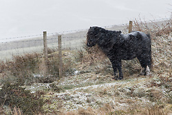 © Licensed to London News Pictures. 13/02/2021. Builth Wells, Powys, Wales, UK. A Welsh mountain pony braves the strong south east winds and snow with temperatures around minus 4.5 deg C and 'feels like' temperature around minus 10-15 deg C at 400 metres (1,300 feet) above sea-level on the Mynydd Epynt range near Builth Wells in Powys, Wales, UK. Photo credit: Graham M. Lawrence/LNP