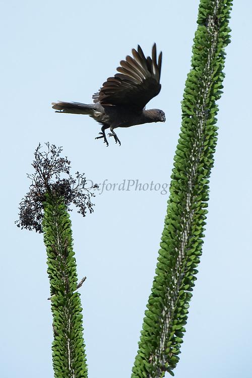 Lesser vasa parrot or black parrot (Coracopsis nigra)<br /> Berenty<br /> South Madagascar<br /> MADAGASCAR<br /> ENDEMIC