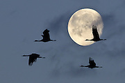 Sandhill cranes (Grus canadensis) fly in front of the moon during their spring migration through Monte Vista National Wildlife Refuge, Colorado.
