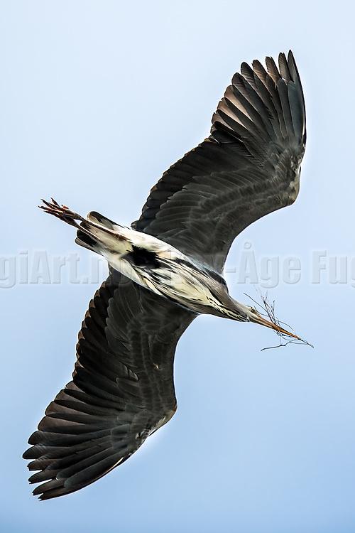 Grågegre sanker grener til reiret sitt   Gray Heron collecting brenches for their nest.
