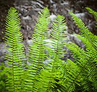 Ferns above a stream
