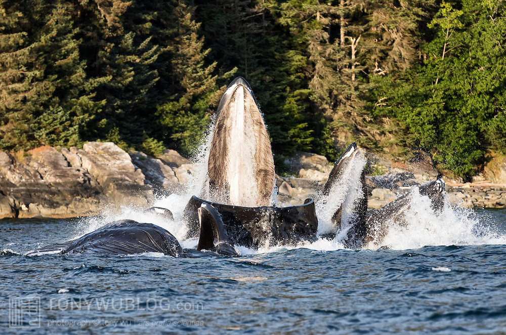 Humpback whales (Megaptera novaeangliae) bubble net feeding in the warm light of late evening during summer in Alaska. The baleen in the mouth of the lead whale is clearly visible from this angle.