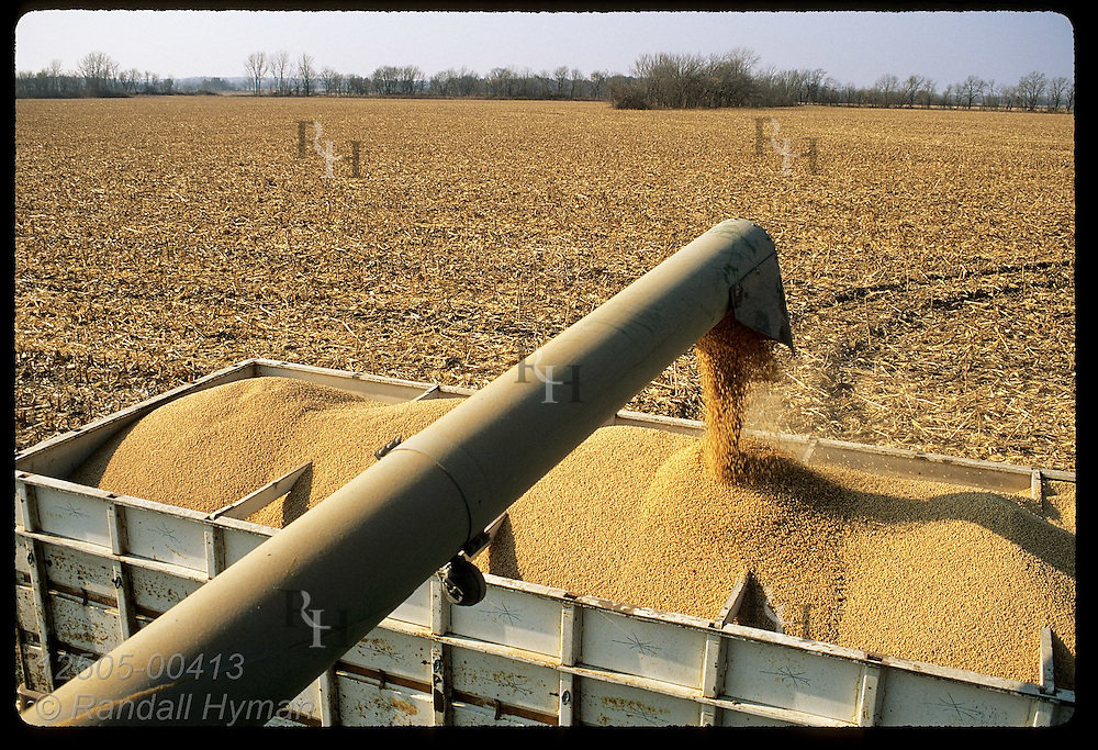 Soybeans pour into back of dump truck in field @ Christison Farms (view from combine); Chillicothe Missouri