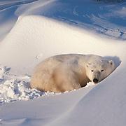 Polar bear (Ursus maritimus) resting in a snowdrift at Cape Churchill, Manitoba, Canada.