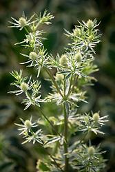 Eryngium planum 'Jade Frost' - Sea holly