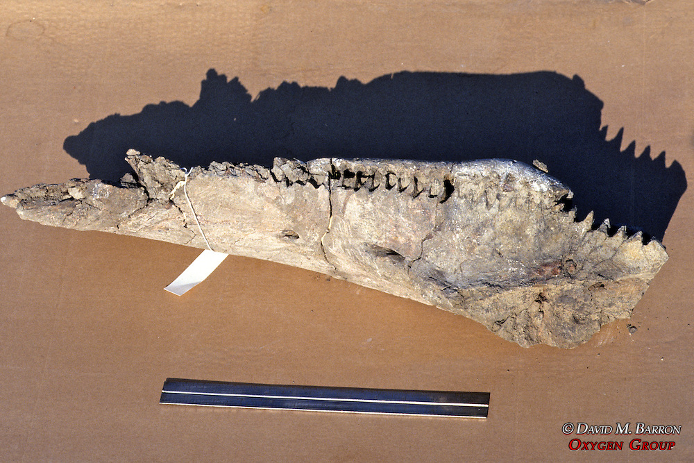 Bone In Lab From Triceratops
