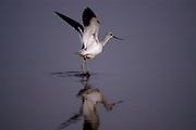 American Avocet in winter plumage, Napa Sonoma marshes, Napa, CA, USA