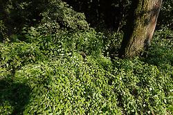 Groot glaskruid, Parietaria officinalis