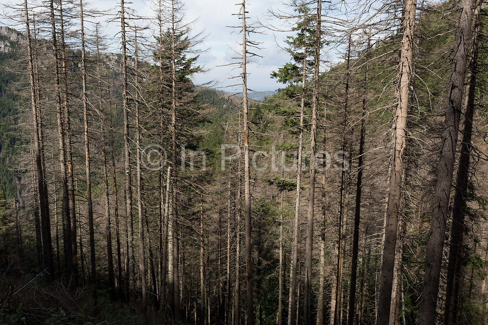 Diseased and dying spruce trees near Sarnia Skala, a mountain in the Tatra National Park, on 16th September 2019, near Koscielisko, Zakopane, Malopolska, Poland. The European spruce beetle Ips typographus is one of 116 bark beetles species in Poland which is killing thousands of spruces. The insects population can grow rapidly via wind and snow etc. which eventually leaves a gap in the landscape, thereby changing the forest floors ecology.