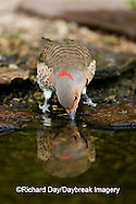 01193-013.07 Northern Flicker (Colaptes auratus) female drinking water, Marion Co. IL