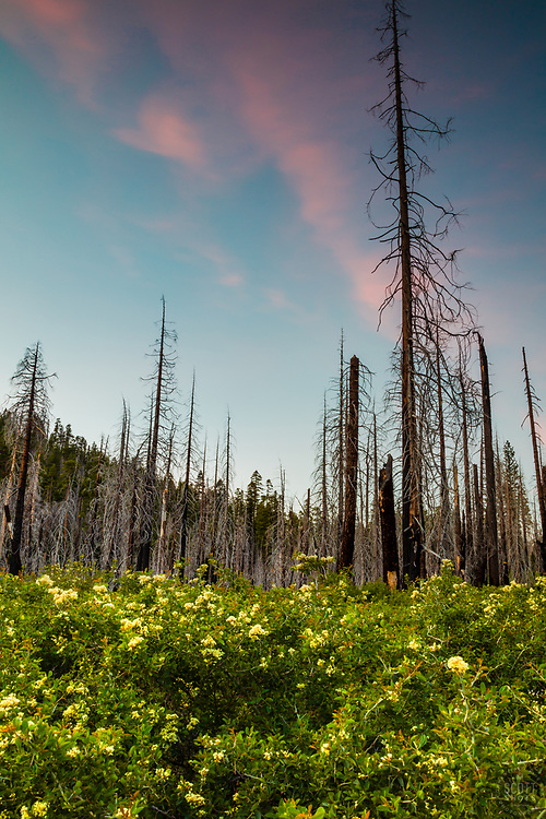 """""""Burnt Trees Sunset 2"""" - Sunset photograph of burnt trees and fresh green growth at Big Meadows Campground above Hell Hole Reservoir, California."""