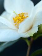 Camellia japonica 'Cornish Snow Michael'