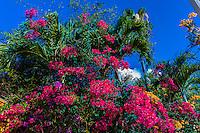 Bougainvillea, Atlantic Boulevard, Key West, Florida Keys, Florida USA