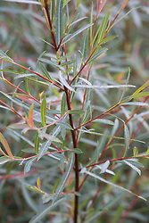 Salix purpurea 'Nancy Saunders'